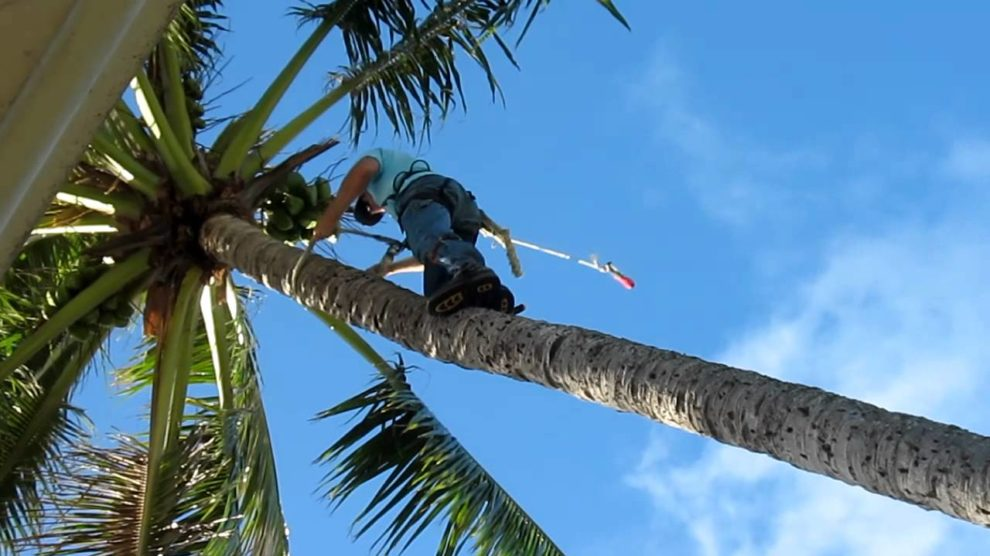 Palm-Tree-Trimming-McAllen Tree Trimming and Stump Grinding Services-We Offer Tree Trimming Services, Tree Removal, Tree Pruning, Tree Cutting, Residential and Commercial Tree Trimming Services, Storm Damage, Emergency Tree Removal, Land Clearing, Tree Companies, Tree Care Service, Stump Grinding, and we're the Best Tree Trimming Company Near You Guaranteed!